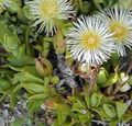 white Flower Ice Plant Photo and characteristics