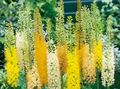 yellow Flower Foxtail Lily, Desert Candle Photo and characteristics