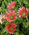 red Flower Cape Daisy, Monarch of the Veldt Photo and characteristics