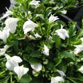 white Flower Mazus Photo and characteristics