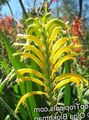 yellow Flower Pennants, African Cornflag, Cobra Lily Photo and characteristics