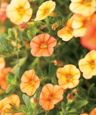 Have blomster calibrachoa, million klokker foto, beskrivelse og ...