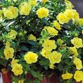 yellow Flower Calibrachoa, Million Bells Photo and characteristics
