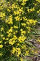yellow Flower False Garlic Photo and characteristics