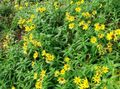 yellow Flower Arnica Photo and characteristics
