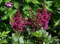 burgundy Flower Astilbe, False Goat's Beard, Fanal Photo and characteristics