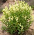 yellow Flower Astragalus Photo and characteristics