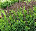 burgundy Flower False indigo Photo and characteristics