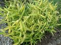 yellow Cereals Dwarf White-Stripe bamboo, Kamuro-zasa Photo and characteristics