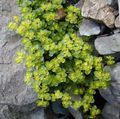 light green Leafy Ornamentals Golden saxifrage Photo and characteristics