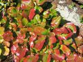 multicolor Leafy Ornamentals Schizocodon Photo and characteristics