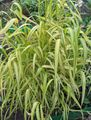 yellow Cereals Bowles Golden Grass, Golden Millet Grass, Golden Wood Millet Photo and characteristics