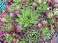multicolor Succulents JovibarbaHouseleek, Hen-and-Chickens Photo and characteristics