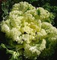 yellow  Flowering Cabbage, Ornamental Kale, Collard, Cole Photo and characteristics
