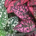 multicolor Leafy Ornamentals Polka dot plant, Freckle Face Photo and characteristics