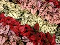 red Leafy Ornamentals Polka dot plant, Freckle Face Photo and characteristics