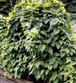 dark green Leafy Ornamentals Dioscorea caucasica Photo and characteristics