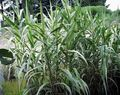 green Cereals Giant Reed Photo and characteristics