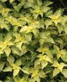 yellow Leafy Ornamentals False Nettle, Japanese Boehmeria Photo and characteristics