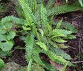 green Ferns Blechnum Photo and characteristics