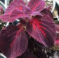 burgundy,claret Leafy Ornamentals Coleus, Flame Nettle, Painted Nettle Photo and characteristics