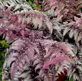 Ornamental Plants Lady fern, Japanese painted fern, Athyrium burgundy,claret Photo