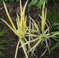 yellow Aquatic Plants Striped Manna Grass, Reed Manna Grass Photo and characteristics
