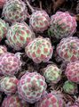 multicolor Succulents Houseleek Photo and characteristics