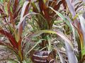 burgundy,claret Cereals Chinese fountain grass, Pennisetum Photo and characteristics
