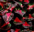 multicolor Leafy Ornamentals Beef steak Plant Photo and characteristics