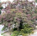 burgundy Plant Honey locust Photo and characteristics