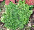 green Plant Alberta Spruce, Black Hills Spruce, White Spruce, Canadian Spruce Photo and characteristics