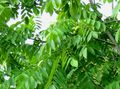 green Plant Walnut Photo and characteristics