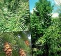 green Plant Douglas Fir, Oregon Pine, Red Fir, Yellow Fir, False Spruce Photo and characteristics