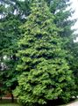 dark green Plant Thuja Photo and characteristics