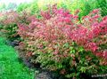 red Plant Euonymus Photo and characteristics