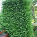 light green Plant Leyland cypress Photo and characteristics