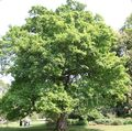 green Plant Oak Photo and characteristics