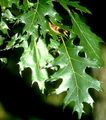 dark green Plant Oak Photo and characteristics