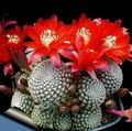 red  Crown Cactus Photo and characteristics