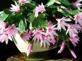 Indoor Plants Easter Cactus, Rhipsalidopsis pink Photo