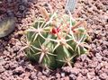 red  Ferocactus Photo and characteristics