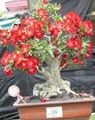 red Succulent Desert Rose Photo and characteristics