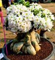 white Succulent Desert Rose Photo and characteristics