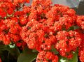 red Succulent Kalanchoe Photo and characteristics