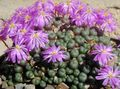 lilac Succulent Cone Plant Photo and characteristics