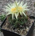 yellow Desert Cactus Coryphantha Photo and characteristics