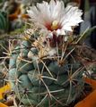 white Desert Cactus Coryphantha Photo and characteristics