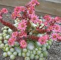 pink Succulent House Leek Photo and characteristics