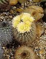 yellow Desert Cactus Neoporteria Photo and characteristics